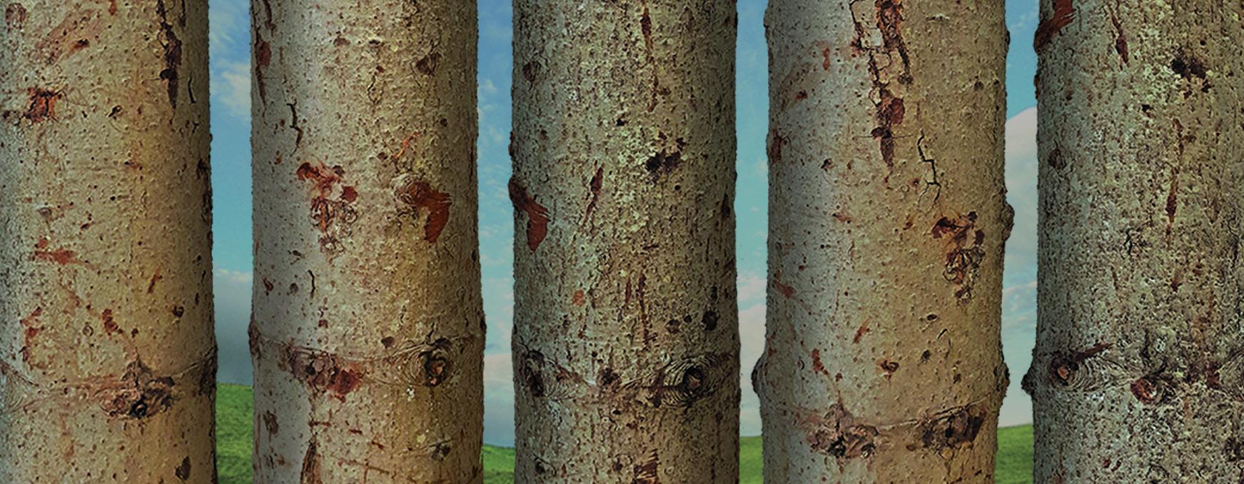 eur-silver-fir-trunk.jpg